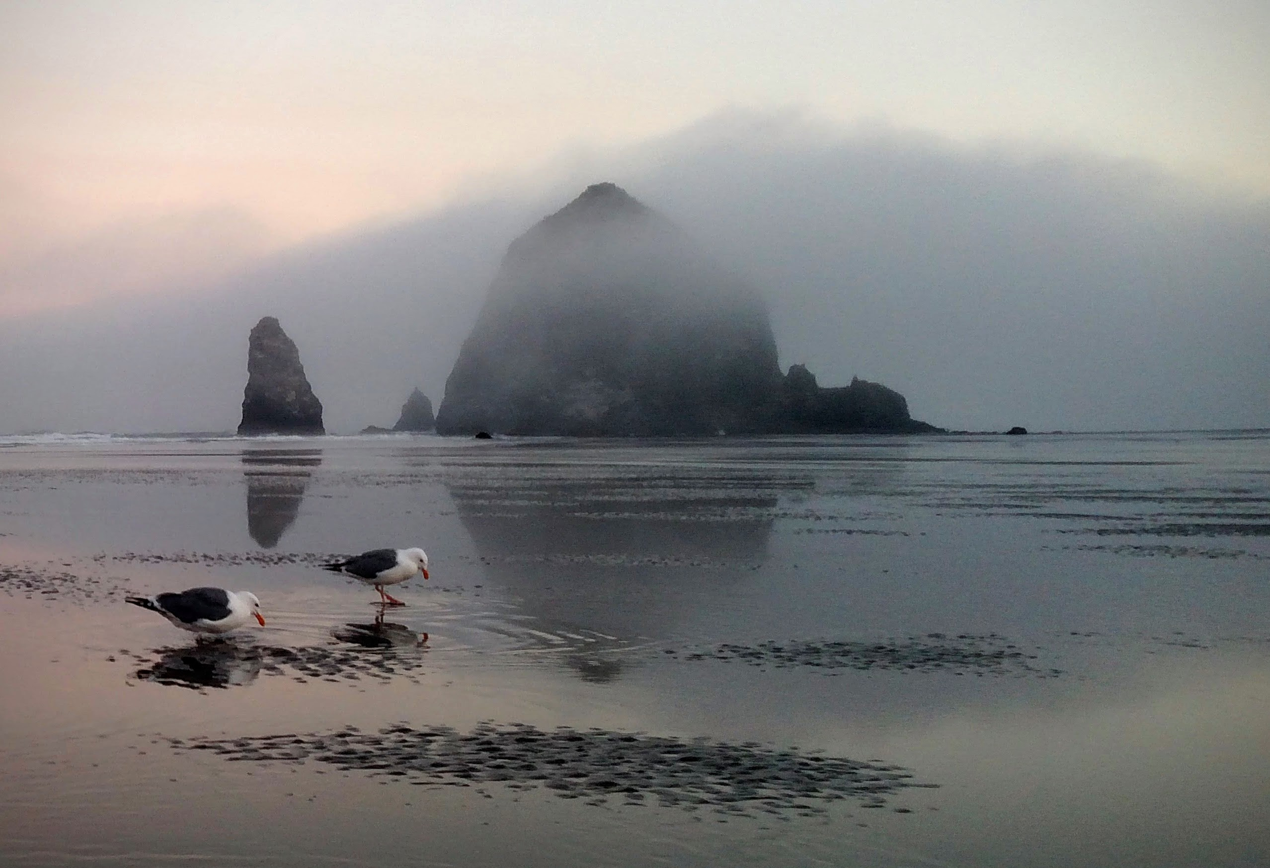 Western Gulls and Haystack Rock