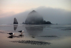 Western Gulls and Haystack Rock