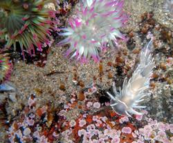 Alabaster Nudibranch
