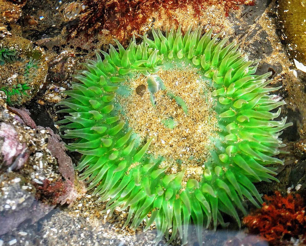 Giant Green Anemone