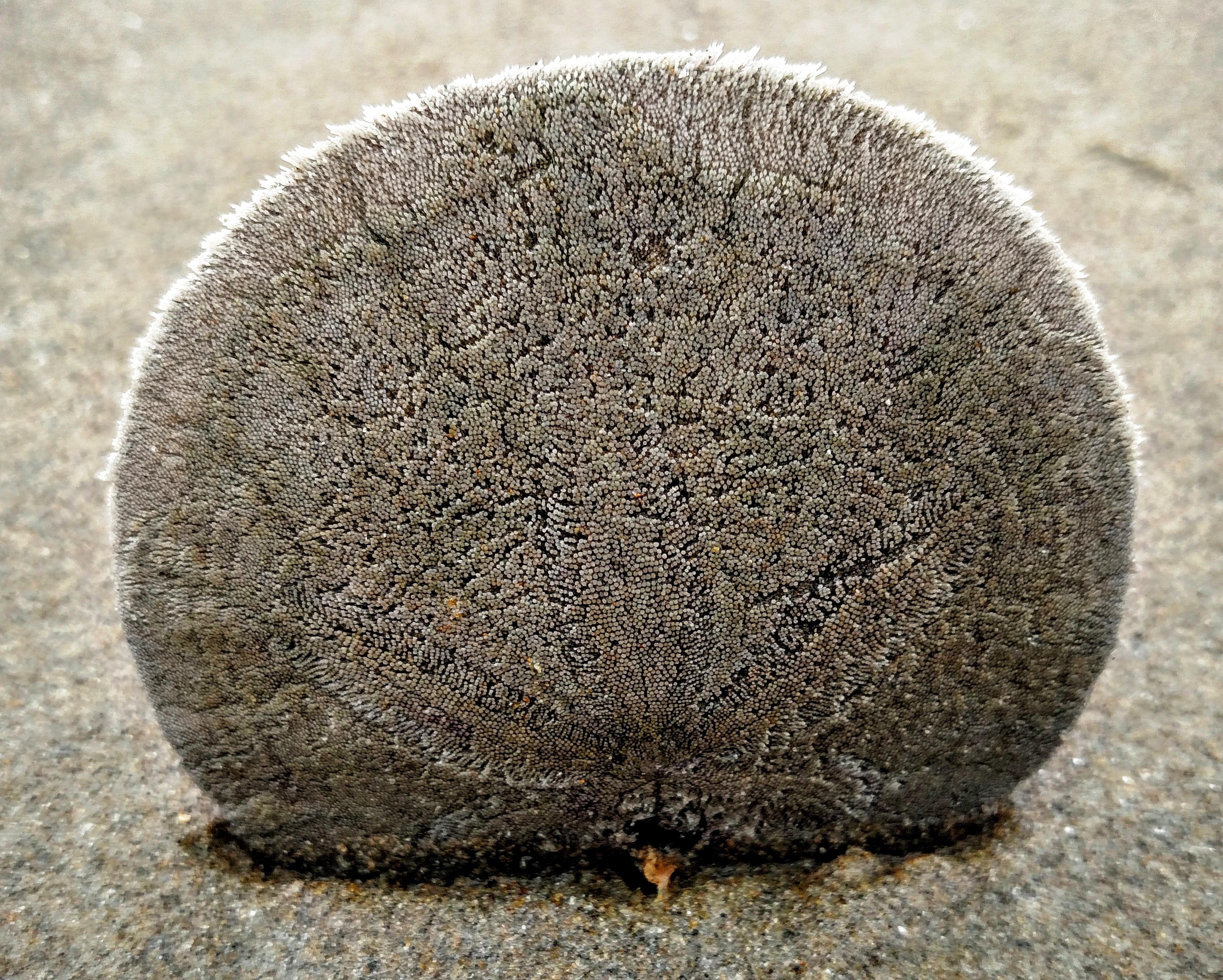 Eccentric Sand Dollar