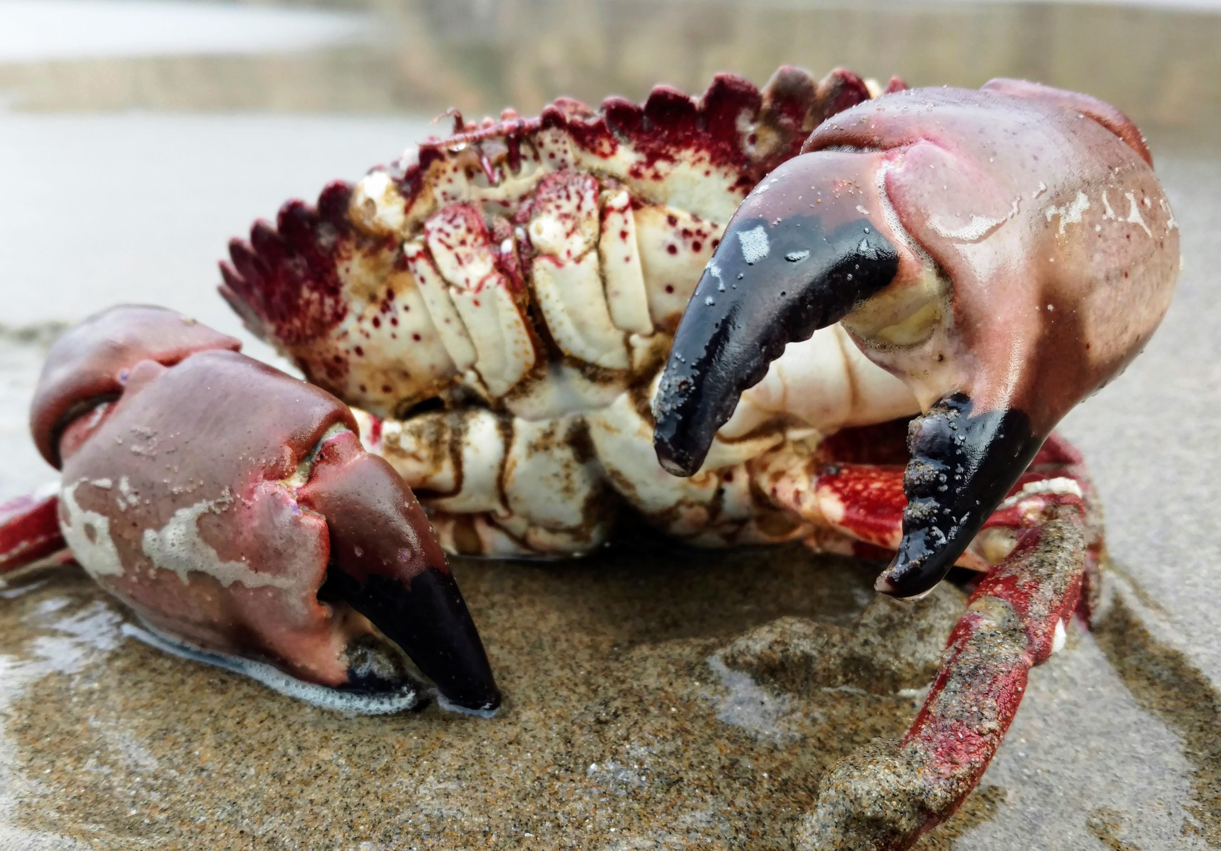 Pacific Rock Crab