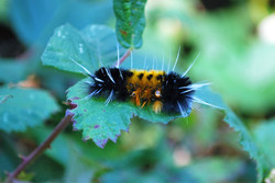Spotted Tussock Moth Catepillar