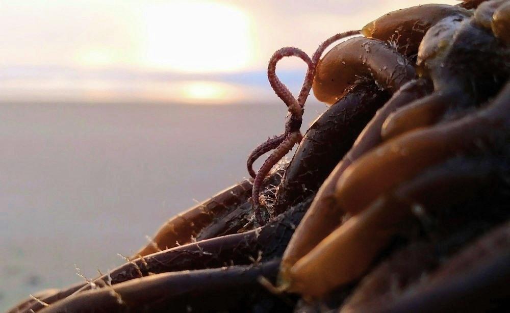Daisy Brittle Star on Kelp Holdfast