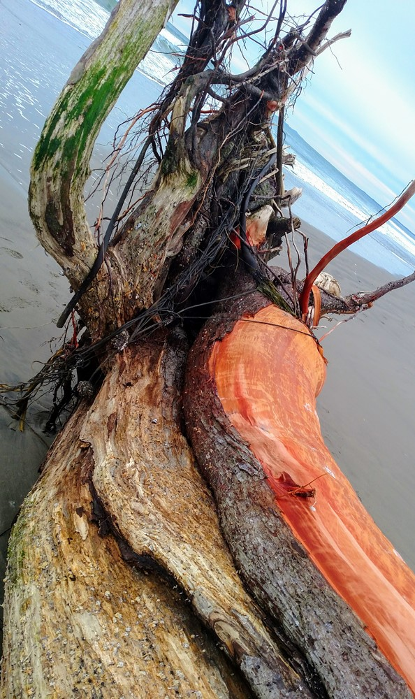 Drift Log at Seaside Beach