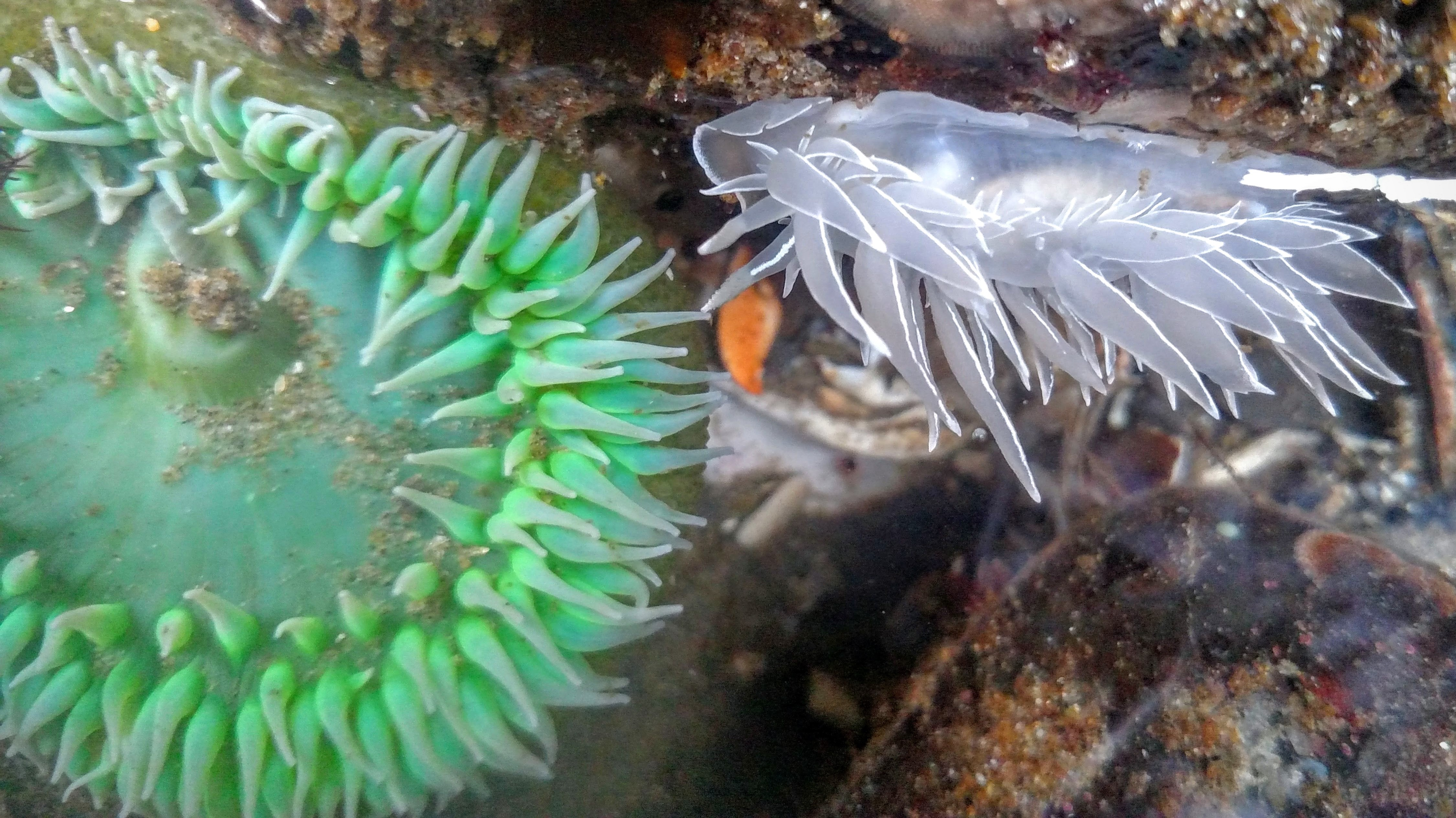 Alabaster Nudibranch and Giant Green Anemone