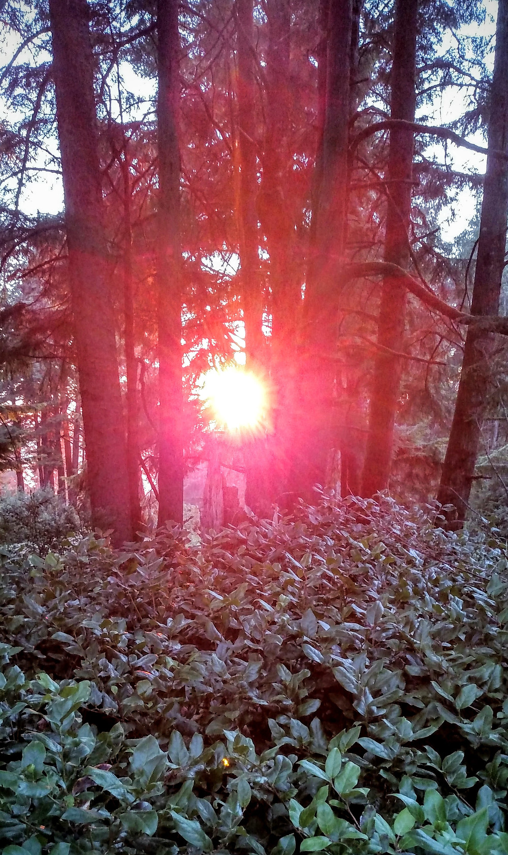 Sunset through Spruce and Salal
