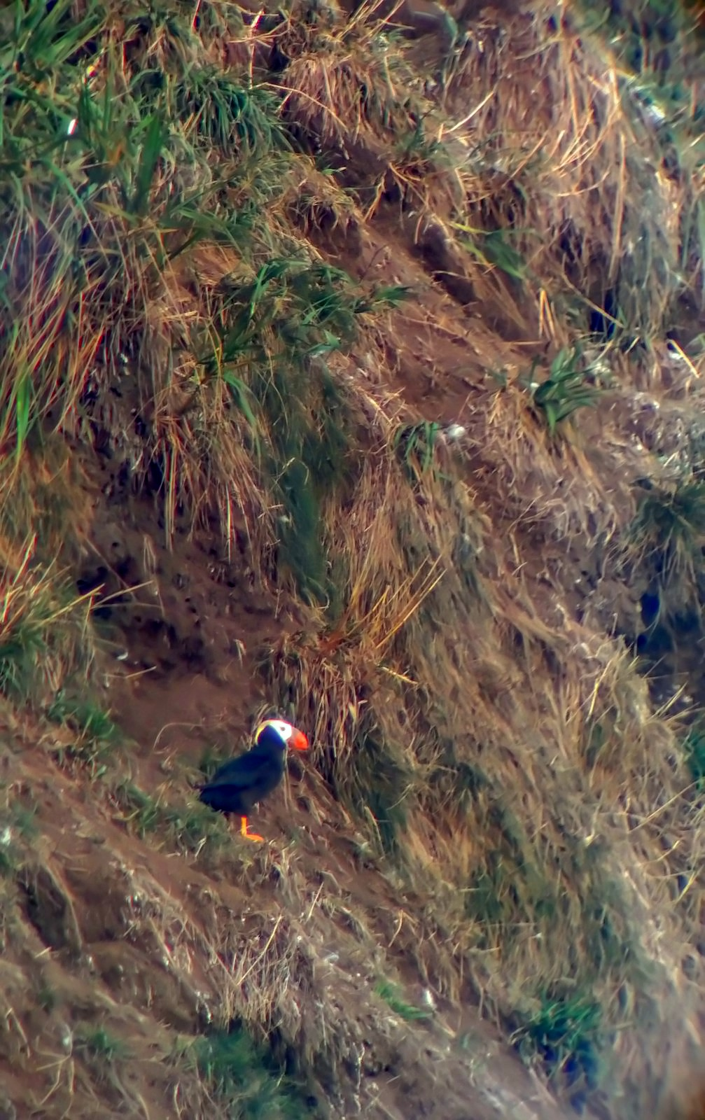 Tufted Puffin at Haystack Rock