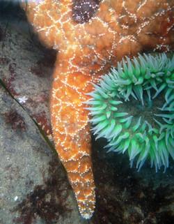 Juvenile and Adult Ochre Sea Stars