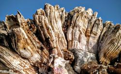 Giant Acorn Barnacles