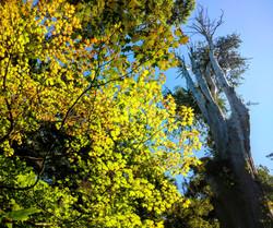 western redcedar and vine maple