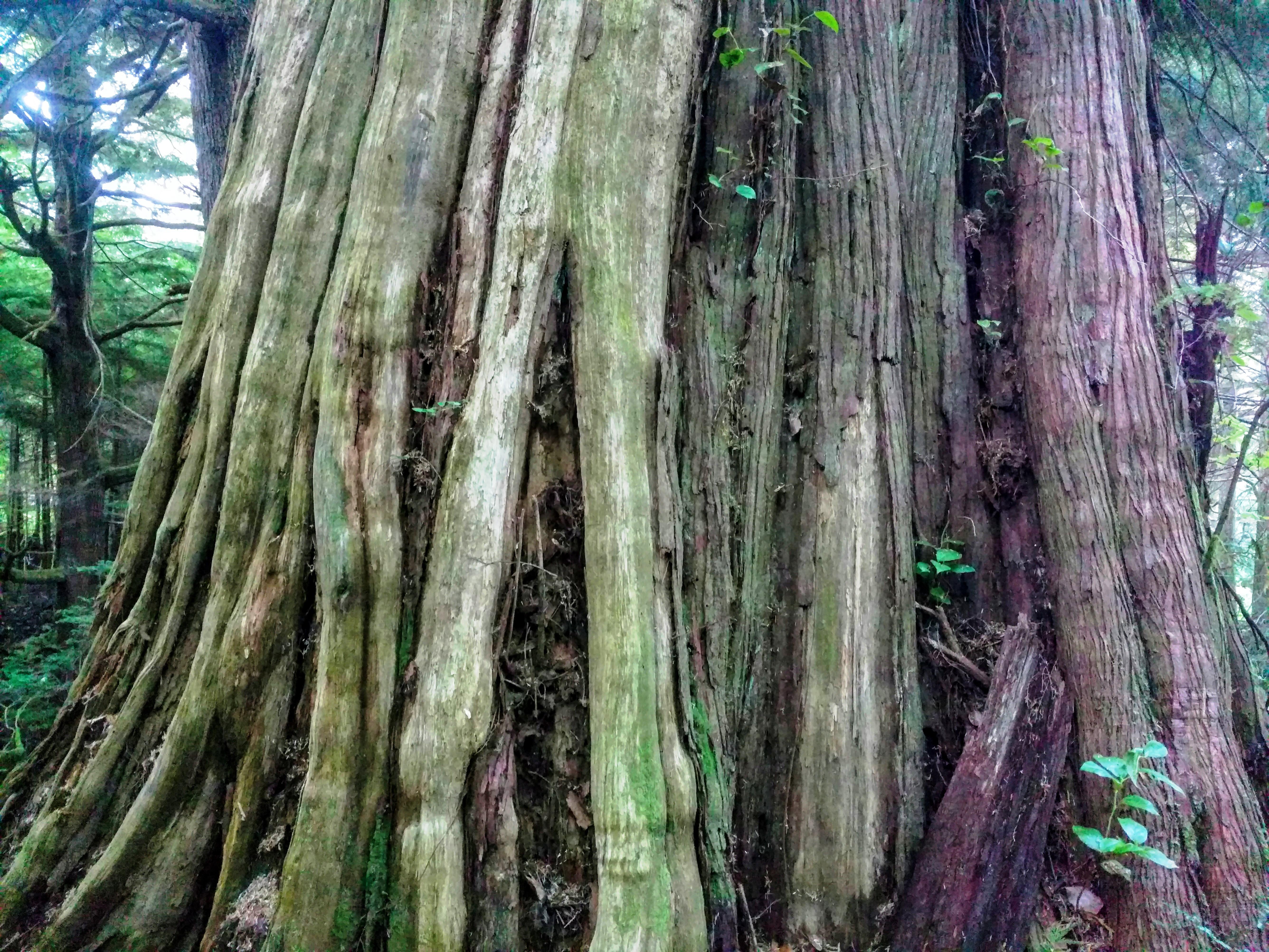 western redcedar trunk