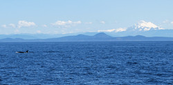 Orca and Mount Baker at Puget Sound