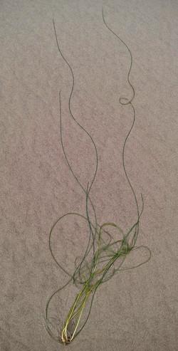 Surfgrass