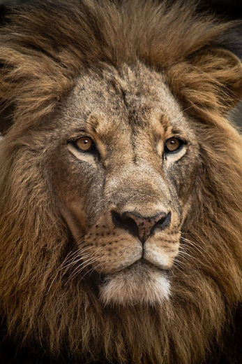 LionPicture.jpg