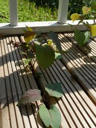 Japoninė reinutrė (Reynoutria japonica).JPG