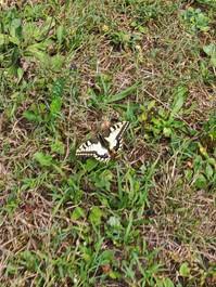 Machaonas (Papilio machaon).jpg