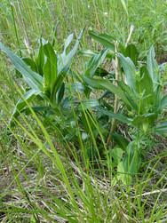 4. Melynasis gencijonas - saugoma rūšis