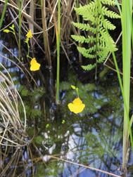 Skendenis - vabzdžiaėdis augalas.JPG