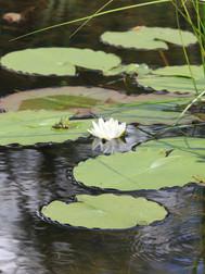 Vandens lelijos salos kudroje.JPG