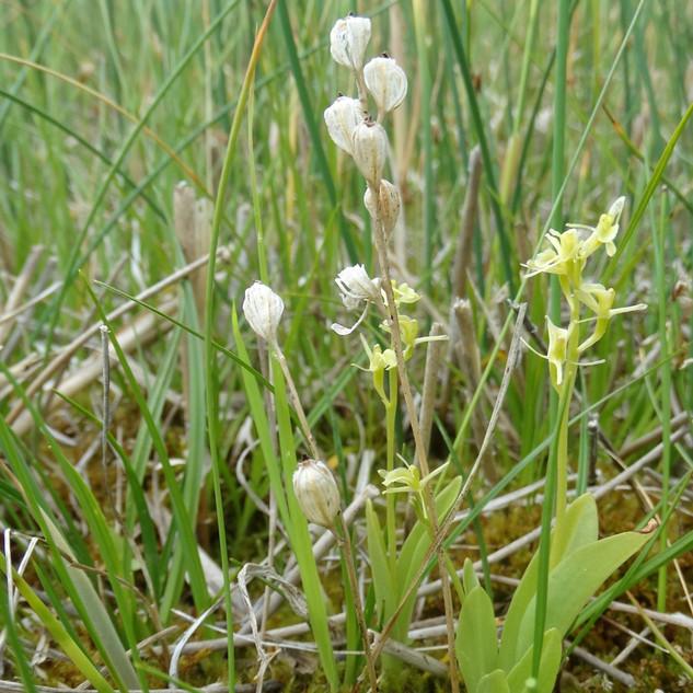 Zemapelke Dvilapis purvuolis