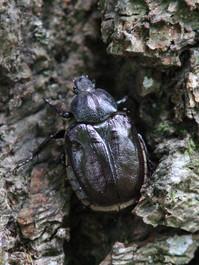 Niūriaspalvis auksavabalis (Osmoderma barnabita) .JPG