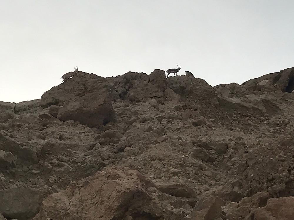 Ibex at Ein Gedi, Israel