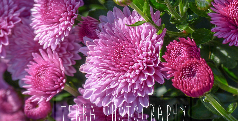 Pink Chrysanthemums Sherpa Queen Blanket