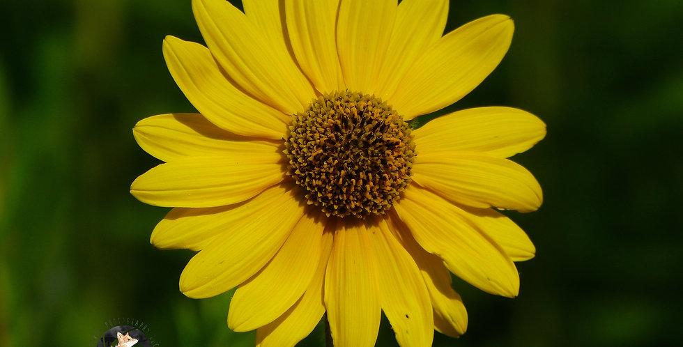 Lone Yellow Sunflower Print