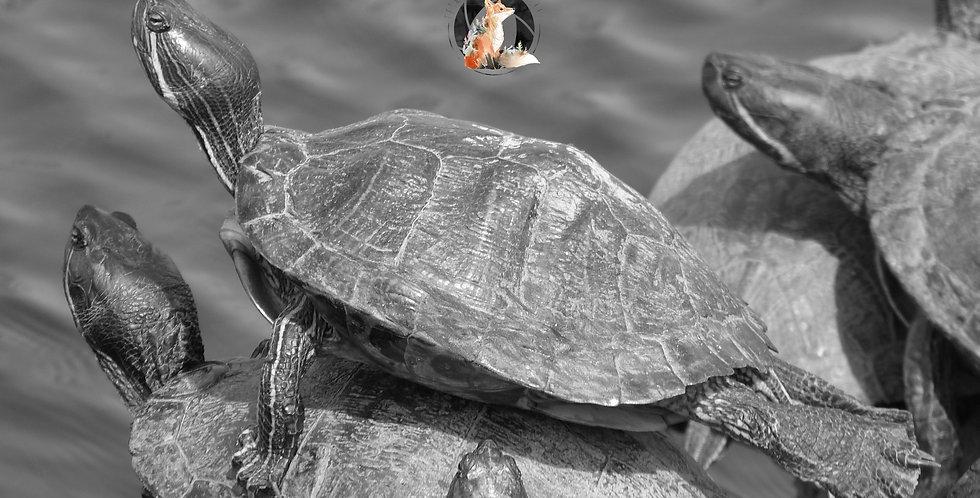Turtle Black and White Print