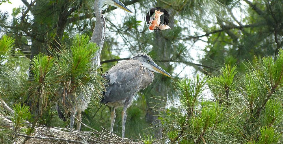 Herons In Nest Print