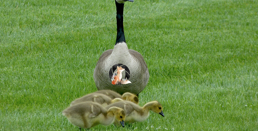 Mother Canadian Goose with Goslings Print