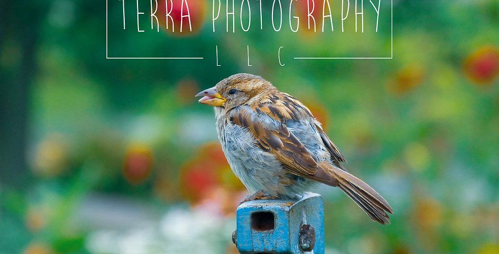 Sparrow Colorful Print