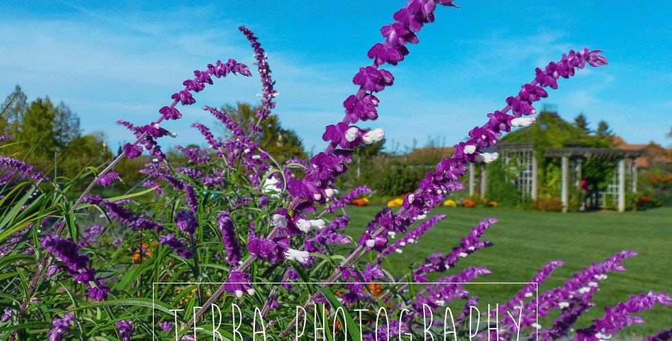 Purple Salvias Flower Print