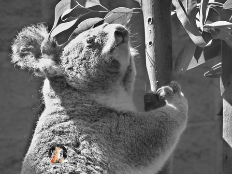 Koala_20x15_MarkedLowRes.jpg