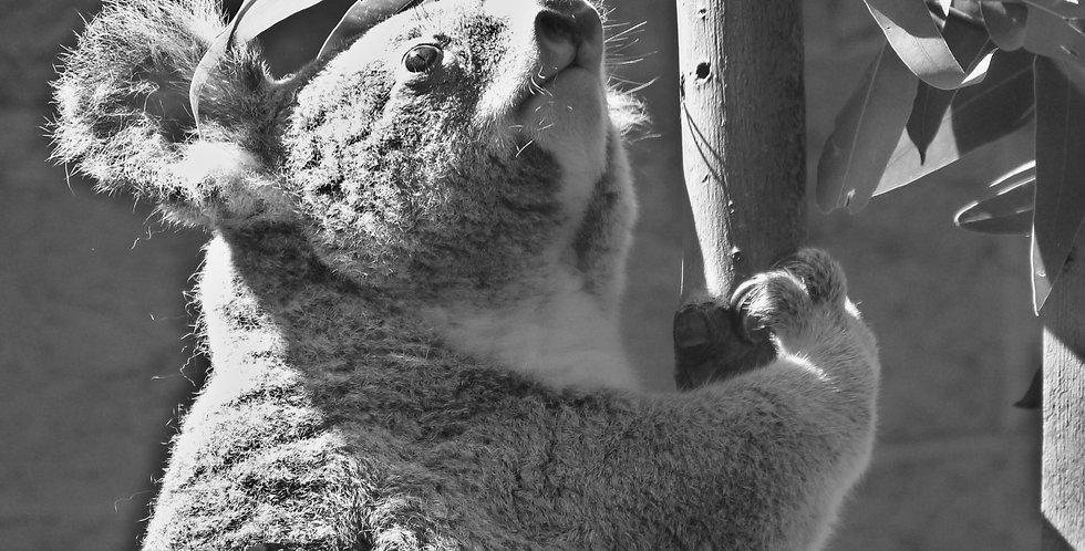 Koala Black and White Print