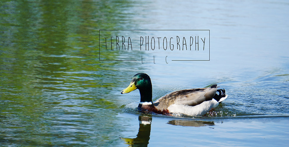 Mallard Duck On Pond Print