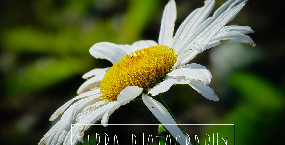 White Flower Leucanthemum Macro Print