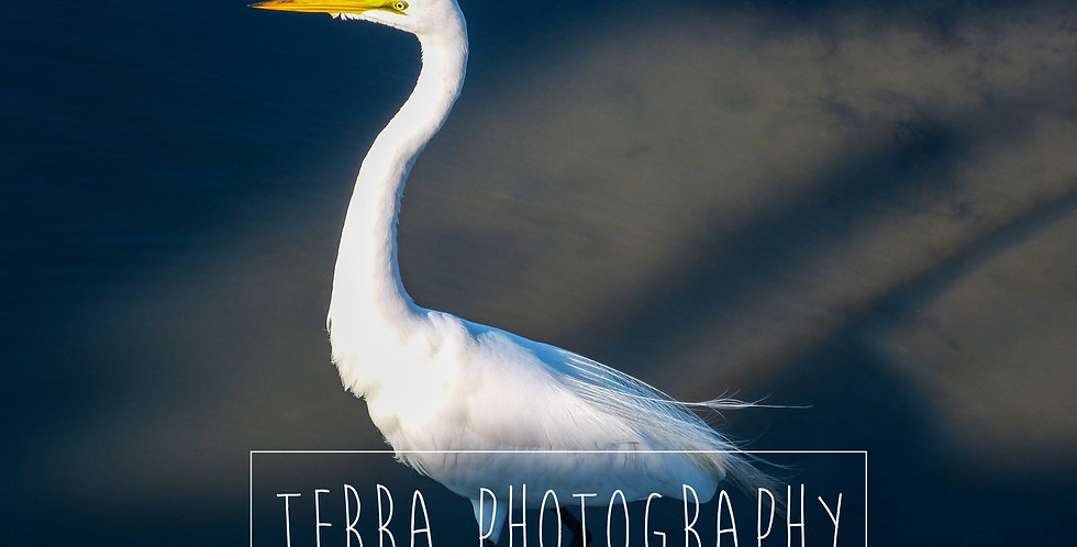 White Egret in Water Print