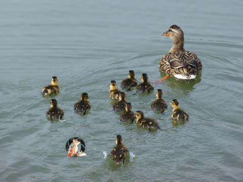 DuckFamily_20x15_MarkedLowRes.jpg