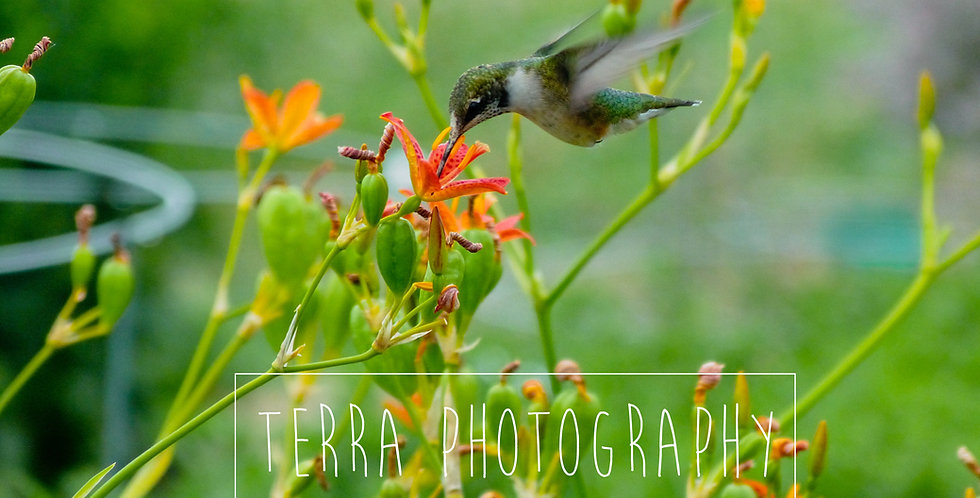 Hummingbird at Orange Flowers Print
