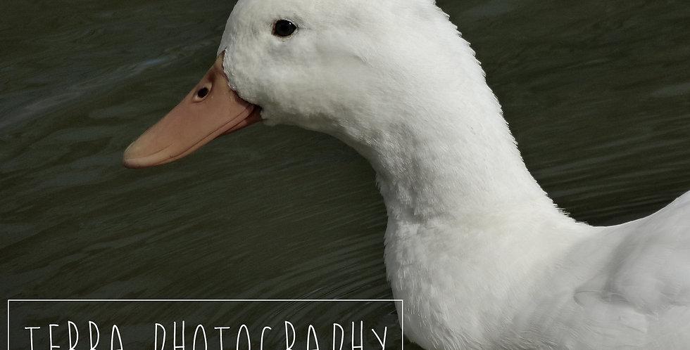 White Duck Print