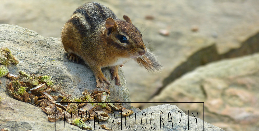 Chipmunk on Rock Print