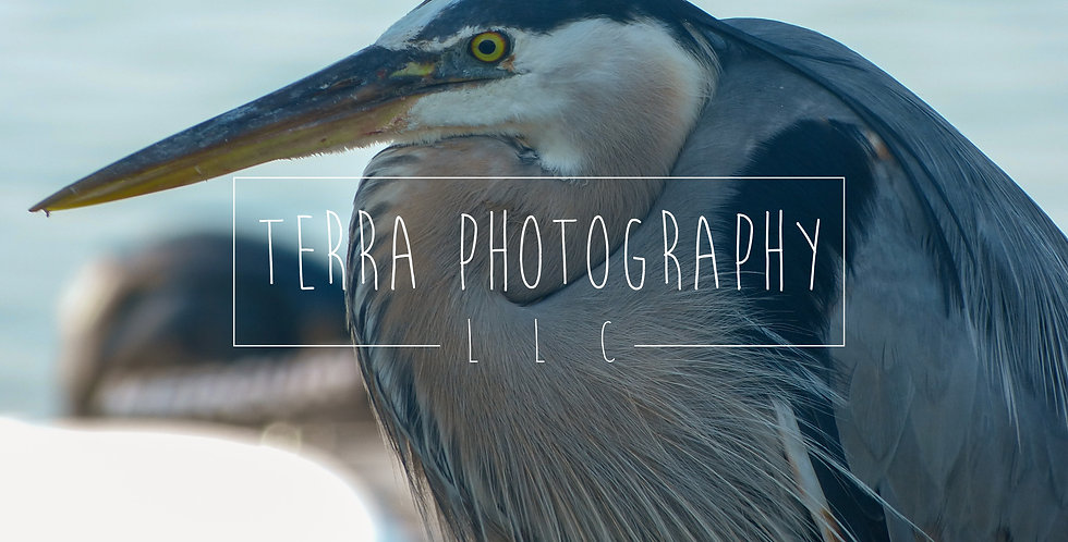 Blue Heron Macro Print