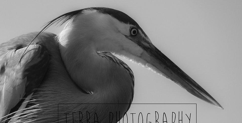 Black and White Heron Print