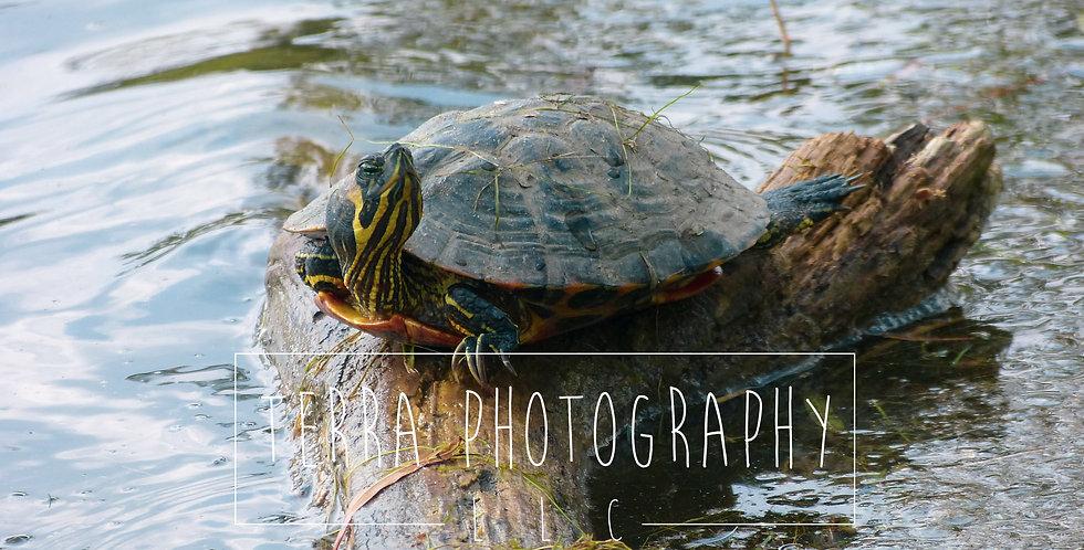 Turtle on Log Print
