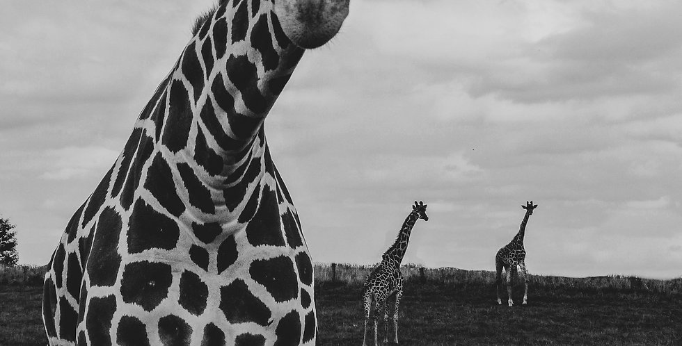Giraffe Black and White Print