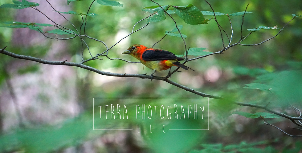 Scarlet Tanager Molting Print