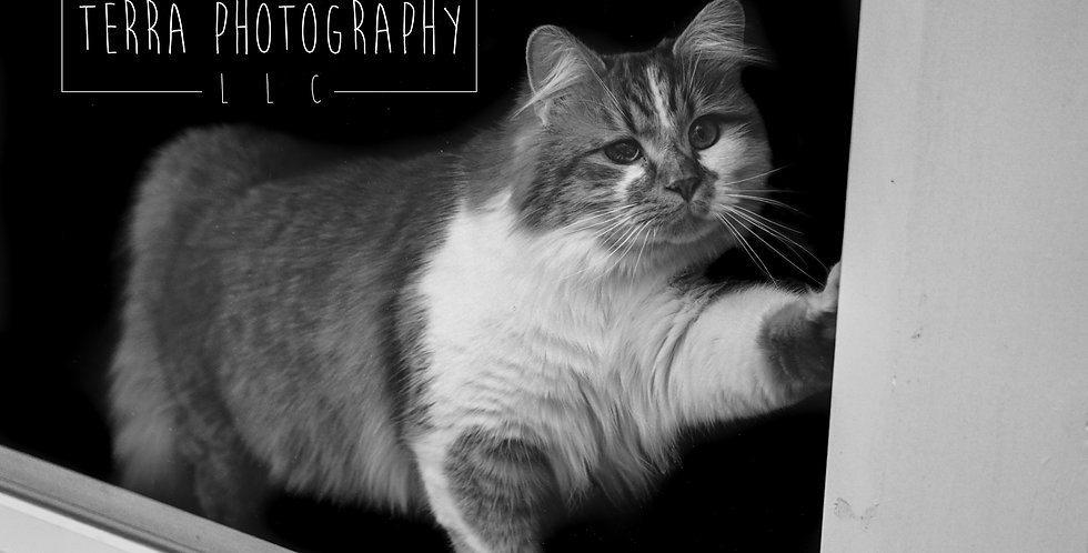 Long Haired Cat Black and White Print