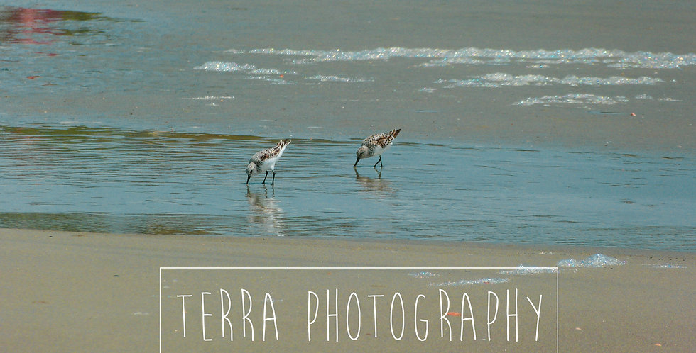 Sandpipers on Beach Print